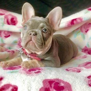 Blue Buddha Frenchies Baby Puppy