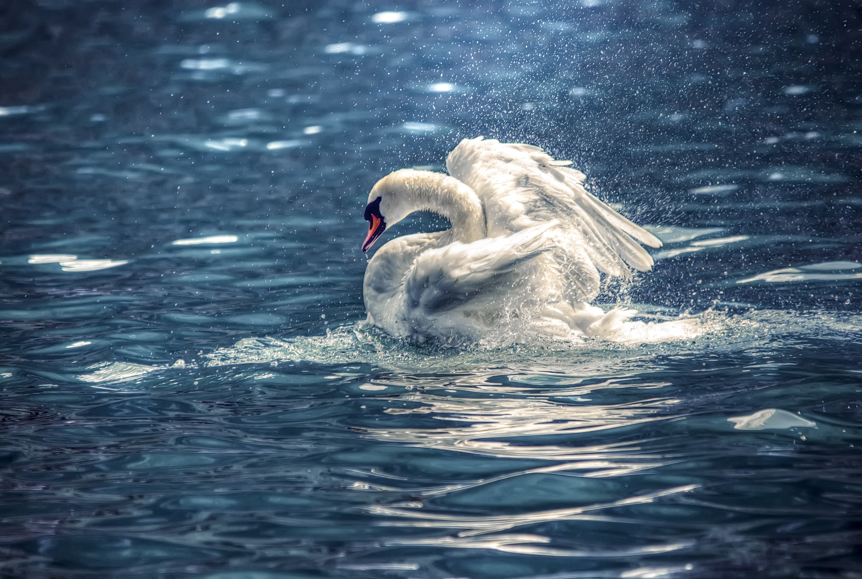 Fairy Swan