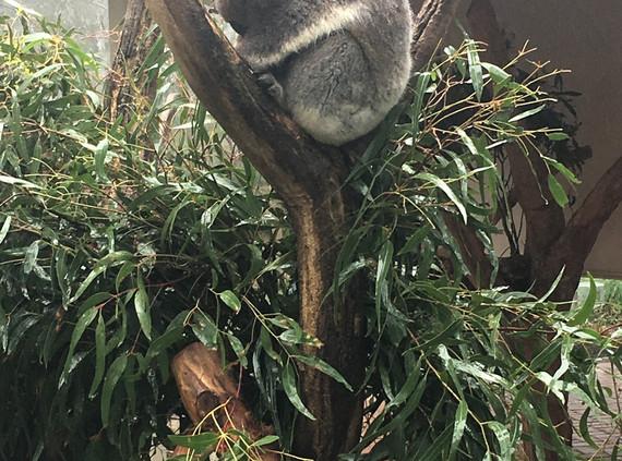 My lovely Koala