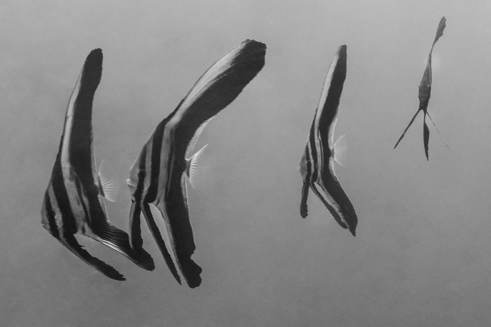 juvenile-batfish.jpg
