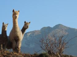 Alpaca in Trentino