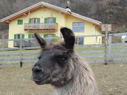 vendita lama