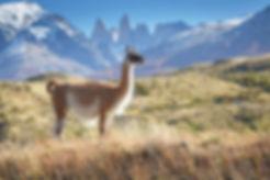 guanaco lama alpaca trekking