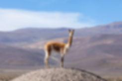 vigogna lama alpaca trekking