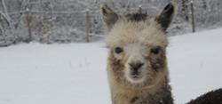 allevamento alpaca