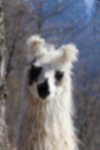 adotta un lama