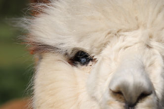 adotta un alpaca