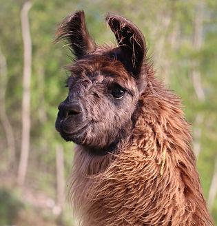 vendita alpaca lama trekking