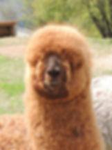 alpaca trentino