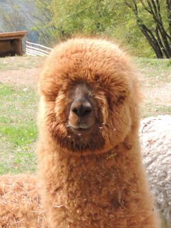 vendita alpaca