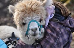 Trekking alpaca