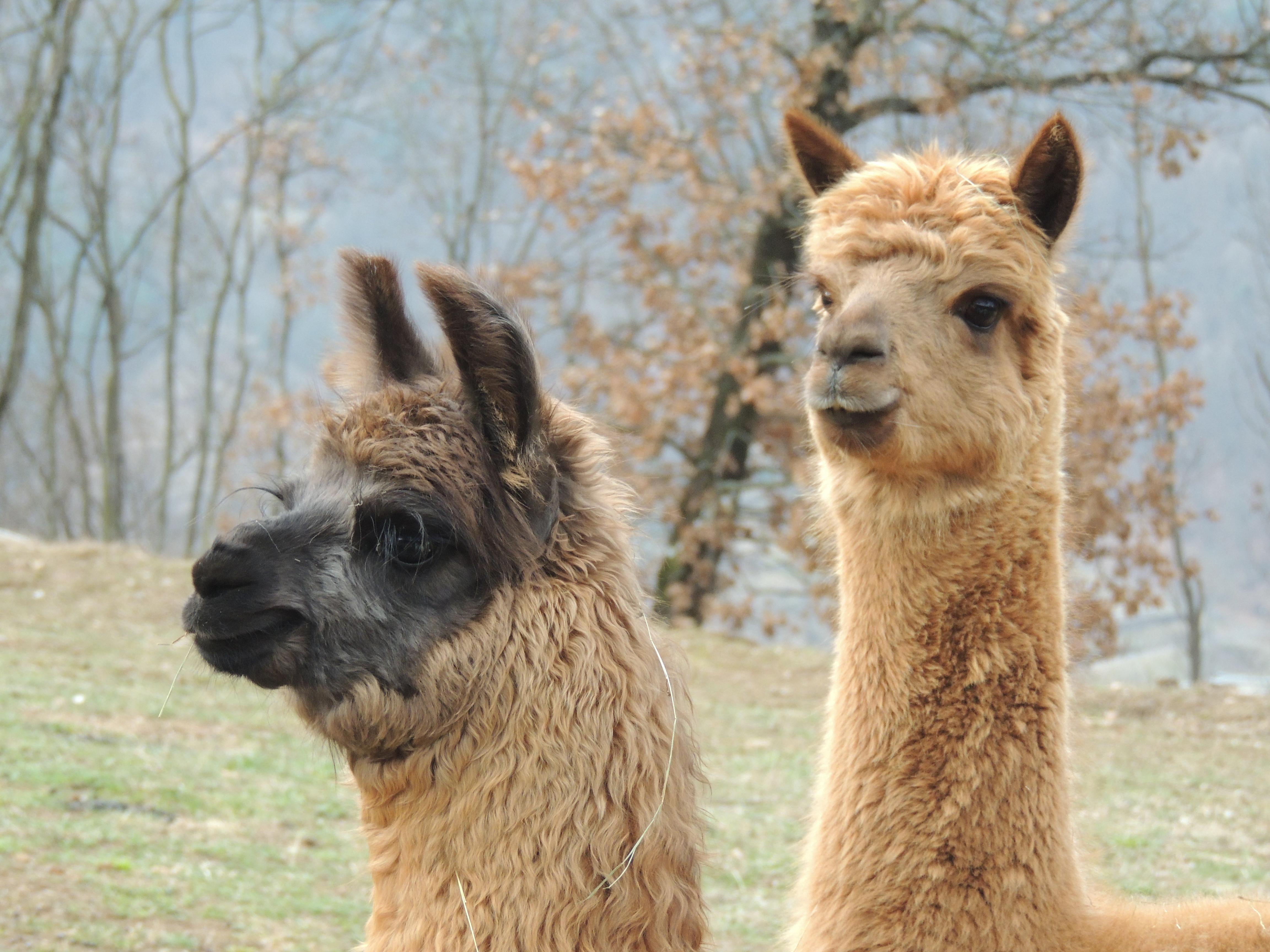 vendita alpaca lama