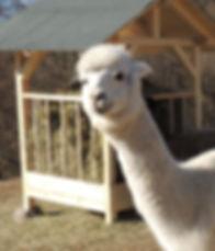 alpaca Huacaya trentino
