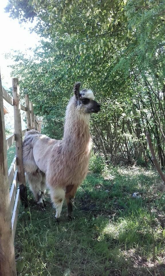 Lama Wooly