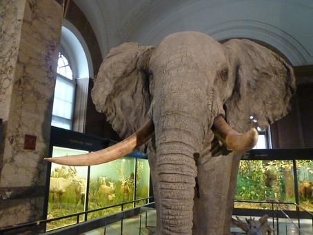 Het AfricaMuseum — Shooting An Elephant