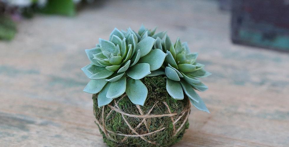 Artificial Plants Sempervivum succulent with a moss ball
