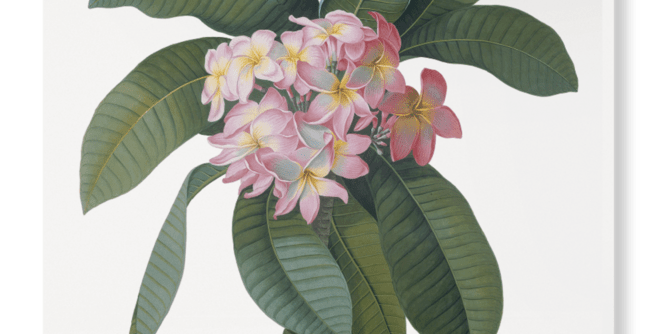 'Plumeria'  V&A Print on Hand Stretched Canvas, By George Dionysus Ehret, Of Pink Flower and Green Leaves on White Background