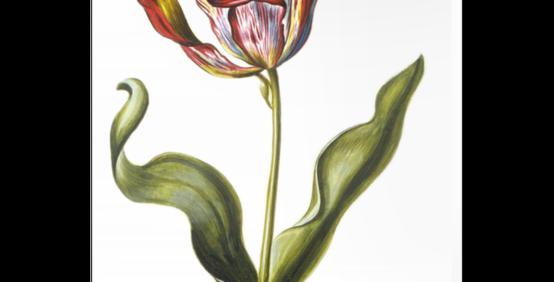 Tulipa XVII Canvas Wall Art
