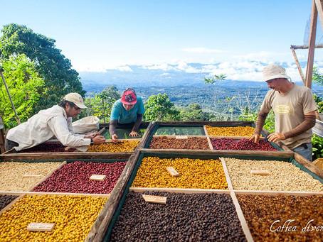Costa Rica Coffea Diversa Montercristo
