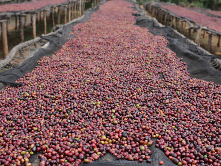 New Fashion Coffee Bean: Slow Dry Processed Bean
