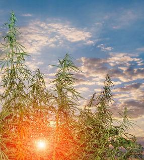 Cannabis-in-Australia-scaled - copia.jpg