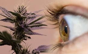 cannabis-glaucoma.jpg