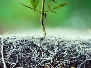 Raíces de Cannabis:  la parte olvidada de la planta de cannabis.