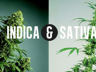 Understanding the differences between two cannabis plants