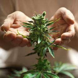 270917_article_Medical_Cannabis_P