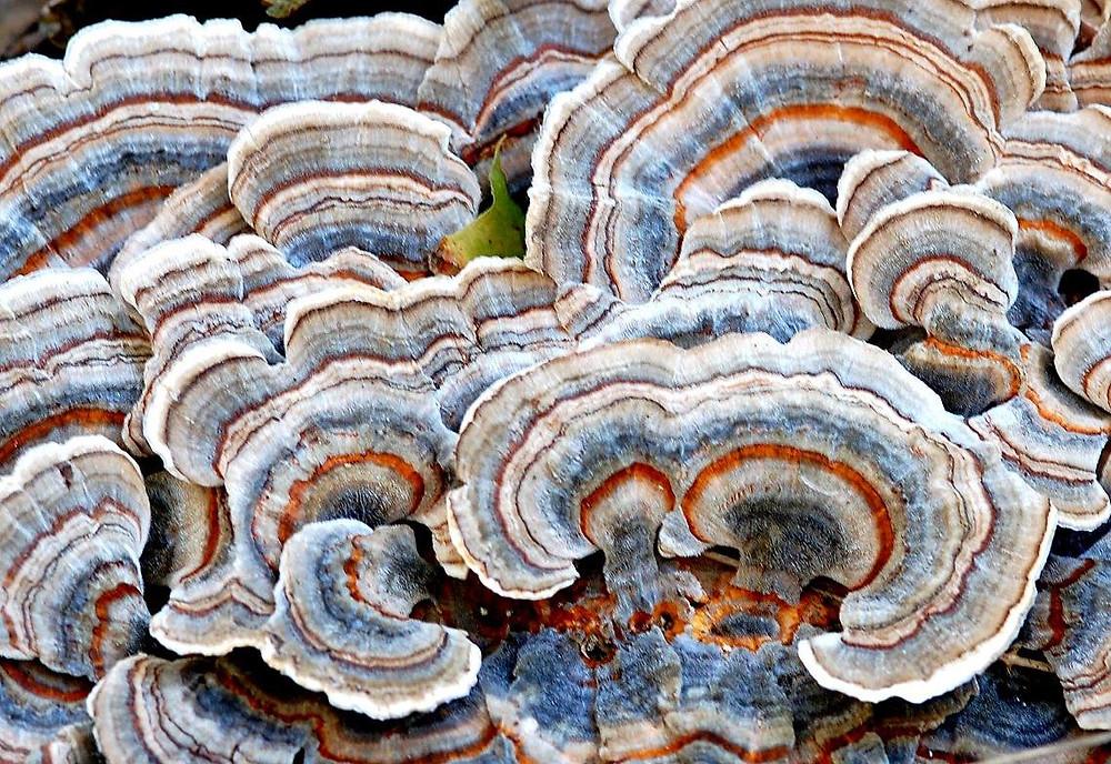 Turkey Tail mushrooms have antioxidant, anticarcinogenic, immune-modulating, anti-inflammatory, and cardio protective properties.