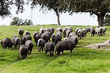 caracteristicas-y-origen-del-cerdo-iberi