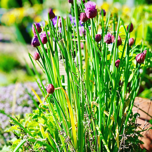 Chives Bunched