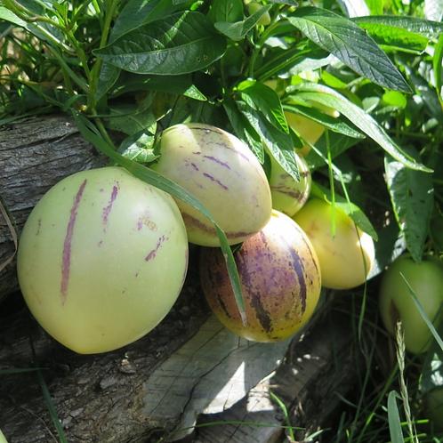 Pepino Melon - Shrub