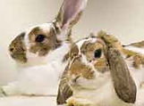 Adopt.Bunny.jpg