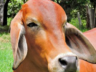 Cruzamento com Brahman reduz ciclo de produção em seis meses