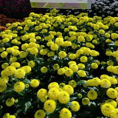 Хризантемы от Dekker