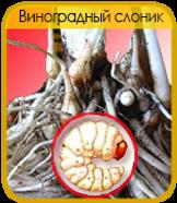 Виноградный Слоник