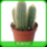 Cactus Kalanchoe