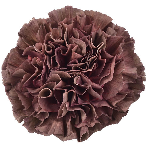 Carnation COPPER EXTASIS select
