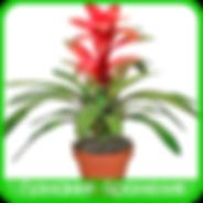 Guzmania Bromeliads