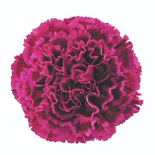 Carnation NOBBIO PARTY select