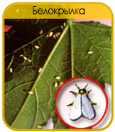 Белокрылка