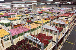 Аукцион цветов в Голландии
