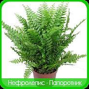 Nephrolepis
