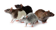 DIFFERENT TYPES OF RATS