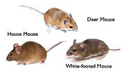 DIFFERENT TYPES OF MICE