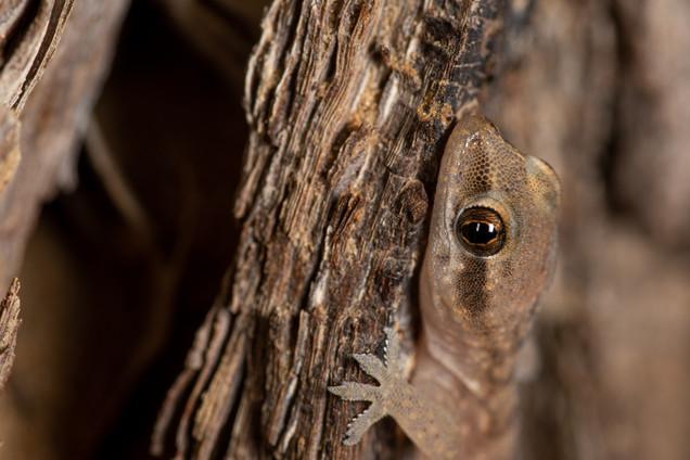 Every Tree has a Gecko