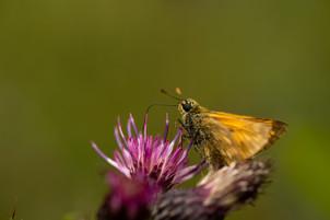Unknown Skipper Butterfly