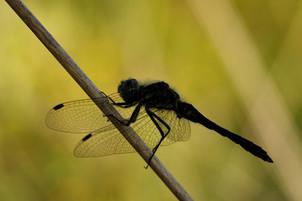 Male Black Darter Dragonfly