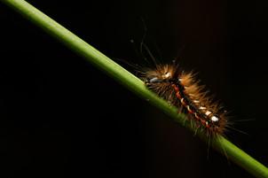 Yellow-tailed Caterpillar